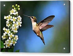 Just Looking Acrylic Print by Christina Rollo