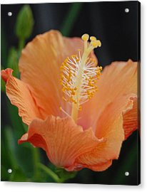 Just Peachy Acrylic Print by Jean Booth