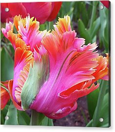 Just The Most Amazing Flower Acrylic Print by Dante Harker