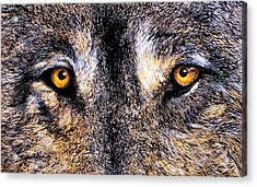 Just Watching Wolf Acrylic Print by JoLyn Holladay