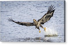 Juvenile Bald Eagle Fishing Acrylic Print