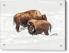 Juvenile Bison With Adult Bison Acrylic Print