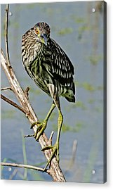 Juvenile Black-crowned Night Heron II Acrylic Print by Dawn Currie