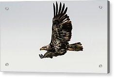 Juvenile Eagle Flying Acrylic Print
