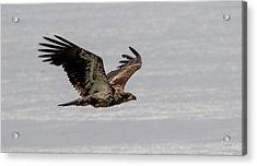 Juvenile Eagle Over The Ocean Acrylic Print