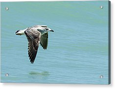 Juvenile Great Black-backed Gull In Flight Acrylic Print by Dawn Currie