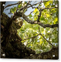 Juvenile Great Horned Owl // Whitefish, Montana  Acrylic Print by Nicholas Parker