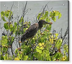 Acrylic Print featuring the photograph Juvenile Heron In Tree by Pamela Walton