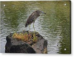 Acrylic Print featuring the photograph Juvenile Heron by Pamela Walton
