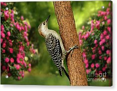 Acrylic Print featuring the photograph Juvenile Red Bellied Woodpecker by Darren Fisher