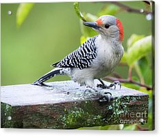 Acrylic Print featuring the photograph Juvenile Red-bellied Woodpecker In The Rain by Ricky L Jones
