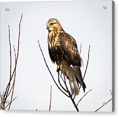 Juvenile Rough-legged Hawk  Acrylic Print by Ricky L Jones