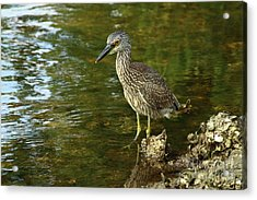 Juvenile Yellow Crowned Night Heron Acrylic Print by Christiane Schulze Art And Photography