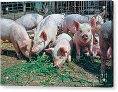Juvenile Yorkshire Hogs Acrylic Print by Inga Spence