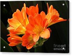 Kaffir Lily #2 Acrylic Print