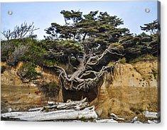 Kalaloch Hanging Tree Acrylic Print by Pelo Blanco Photo
