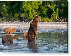 Kamchatka Brown Bear Acrylic Print by Sergey  Krasnoshchekov