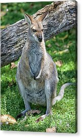 Acrylic Print featuring the photograph Kangaroo by Patricia Hofmeester