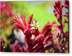 Acrylic Print featuring the photograph Kangaroo Paws by Alison Frank
