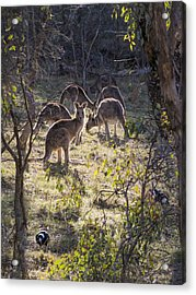 Kangaroos And Magpies - Canberra - Australia Acrylic Print by Steven Ralser