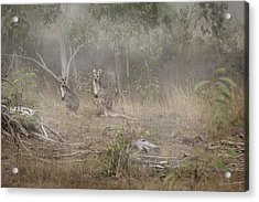 Kangaroos In The Mist Acrylic Print