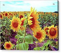Kansas Sunflowers Acrylic Print