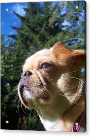 Karma The Pug Chihuahua Acrylic Print by Ken Day