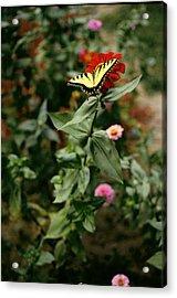 Kathy's Butterfly Acrylic Print by Lynard Stroud