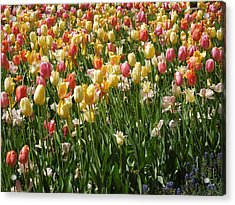 Kathy's Tulips Acrylic Print by Peg Toliver