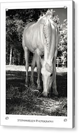 Katie Grazing Acrylic Print by Stephanie Hayes