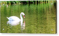 Katie The Mute Swan Acrylic Print by Lorri Crossno