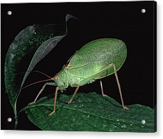 Katydid At Night Acrylic Print