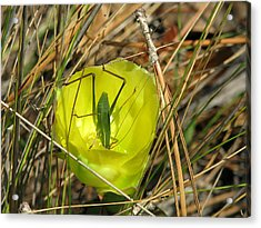 Acrylic Print featuring the photograph Katydid What by Peg Urban