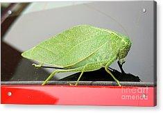 Acrylic Print featuring the photograph Katydids- Bush Crickets by Ricky L Jones