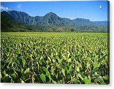 Kauai, Wet Taro Farm Acrylic Print by Himani - Printscapes