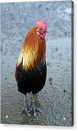 Kaui Rooster Acrylic Print