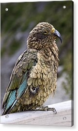 Acrylic Print featuring the photograph Kea Bird by Sally Weigand