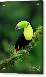 Keel-billed Toucan Acrylic Print by Juan Carlos Vindas