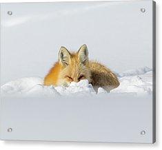 Snow Hide Acrylic Print