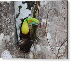 Keel-billed Toucan #2 Acrylic Print