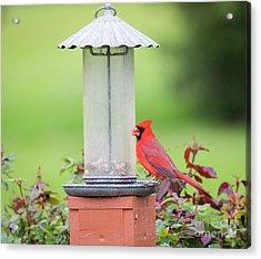 Acrylic Print featuring the photograph Kentucky Cardinal  by Ricky L Jones