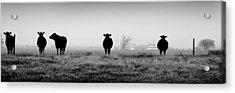 Kentucky Cows Acrylic Print by Todd Fox