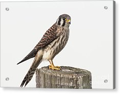 Acrylic Print featuring the photograph Kestrel Portrait by Robert Frederick
