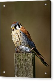 Kestrel With Prey Acrylic Print