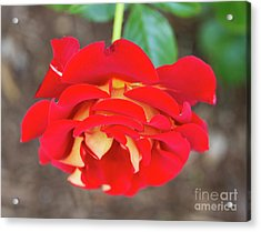 Ketchup And Mustard Rose Acrylic Print by Louise Heusinkveld