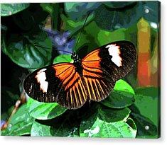 Key West Butterfly 1 Acrylic Print