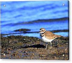 Killdeer . 40d4101 Acrylic Print by Wingsdomain Art and Photography