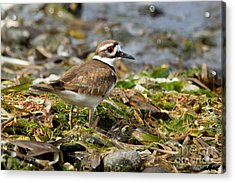 Killdeer At The Coast Acrylic Print