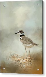 Killdeer On The Rocks Acrylic Print by Jai Johnson