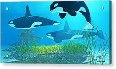Killer Whale Reef Acrylic Print by Corey Ford